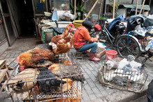 Woman Defeathering Chicken At Food Market On Old City Of Shanghai, China