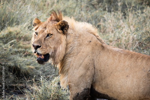 Photo Male lion serengeti