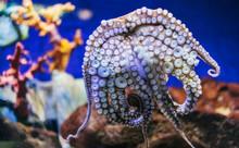 Close Up View Color Octopus On Background Blue Sea Aquarium Coral. Devilfish Poulpe Stuck Sucker To Glass In Oceanarium Museum, Blur Mockup, Sea Showcase Seafood Restaurant