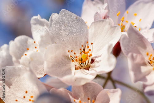 Fototapety, obrazy: Sakura or cherry tree flowers blossom with drops of dew