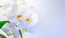 White Orchids On A White-gray ...