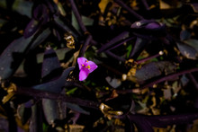 Small Violet Flower Wandering Jew Flower (Tradescantia Pallida)