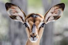 Cute Baby Antilope Face Portrait