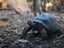 Close-up Of Aldabra Giant Tort...