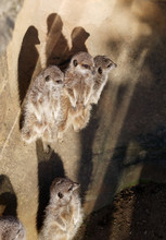 A Mob Of Meerkats Watching Out...