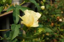 Cotton Flower / Gossypium Hirs...