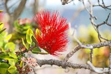 Red Lehua Blossom
