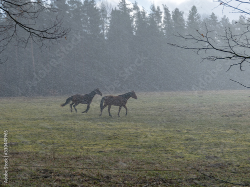 landscape with horse silhouettes in a snowstorm