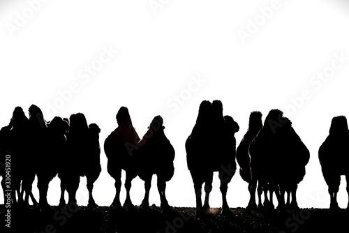Eine Gruppe von Trampeltieren in der Wüste Gobi, Mongolei Canvas Print