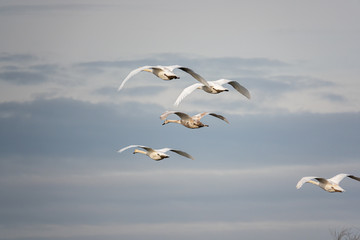 Fototapeta Do jadalni group of white swans flies close together v