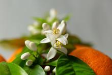 Flores De Azahar Y Naranjas ,p...
