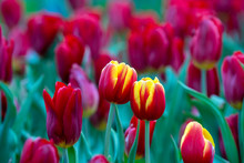 Beautiful Colorful Red And Yel...