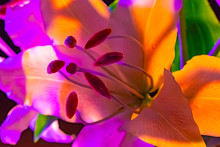 Lily Flower In Bright Neon Lig...