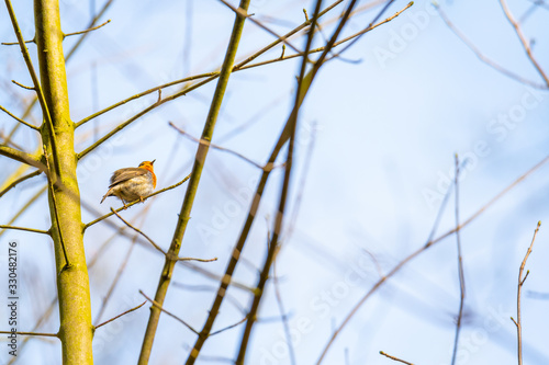 A robin sits in a tree with  a blue sky in the background Canvas Print