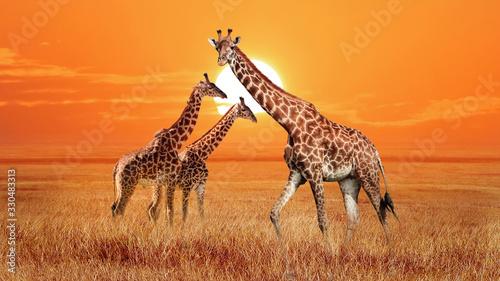 Group of wild giraffes in the African savannah. Wildlife of Africa. Serengeti National Park. Tanzania.