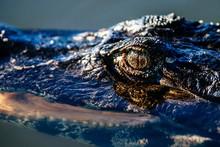 Closeup Of An American Crocodi...