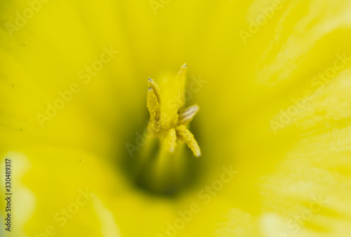 Fotografia, Obraz pistils de fleur jaune, gros plan, macro en été