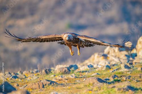 Photo Golden eagle - Aquila chrysaetos
