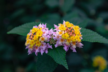 Lantana Camara Flower, Colorfu...
