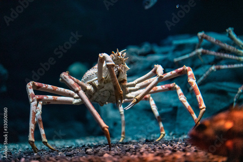 Japanese spider crab  at Osaka Aquarium Kaiyukan, Japan Wallpaper Mural