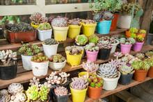 Miniature Succulent Plants (succulent Cactus) At The Garden