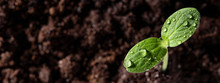 A Young Sprout Grows From The ...