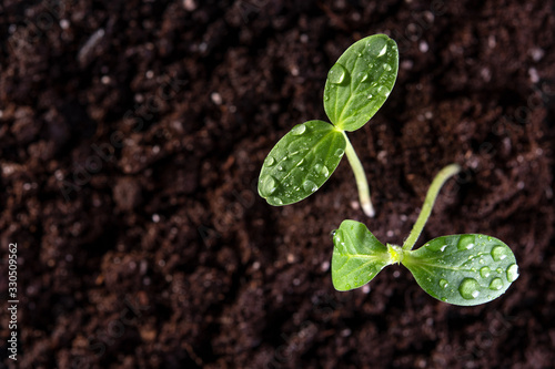 Vászonkép Two young sprouts grow from the soil with drops on the leaves