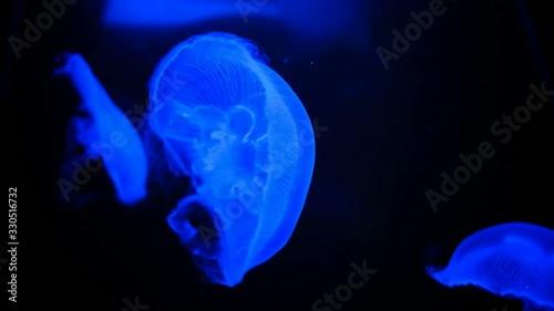 Four-leaf clover jellyfish in aquarium with blue night light