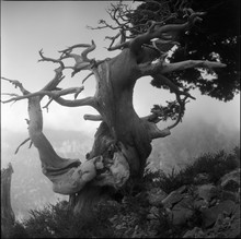 Gnarled Old Tree In Crete, Gre...