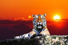 Tiger Portrait  On The Rock Wi...
