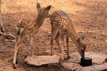 Two Young Deer Standing On The Brown Ground.