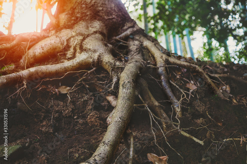 big old tree roots, sunny forest Fotobehang