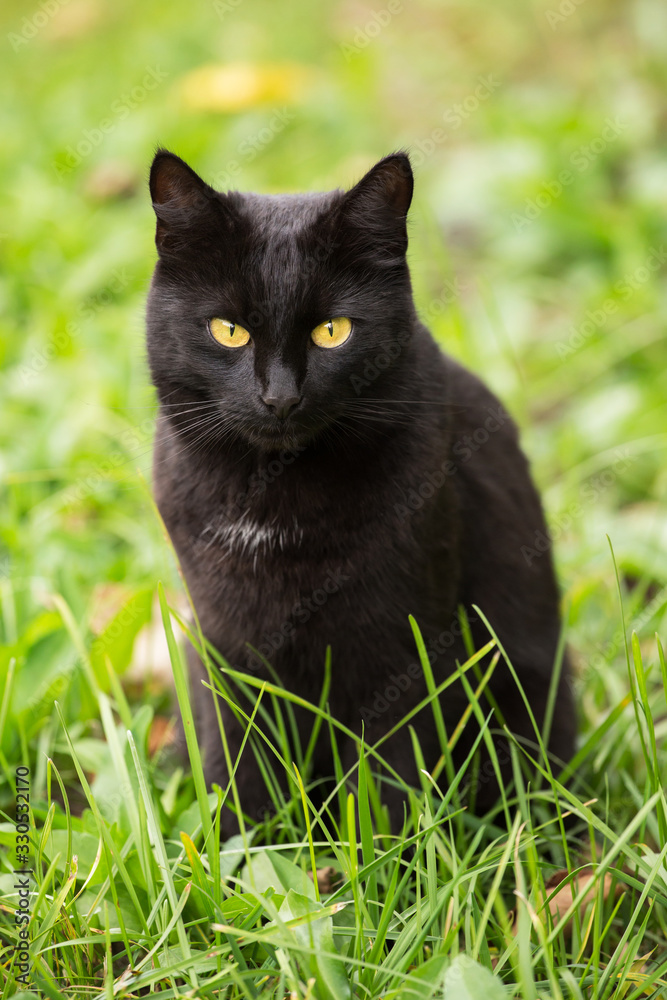 Fototapeta Beautiful cute bombay black cat with yellow eyes and insight look sits in green grass in nature in spring garden, meadow, lawn