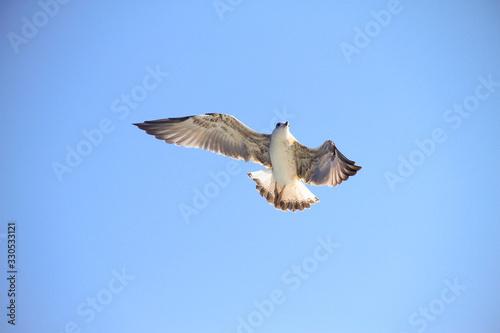 Mewa lecaca nad morzem na tle błekitnego nieba Tapéta, Fotótapéta