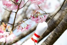 桜の花とボウリングの...