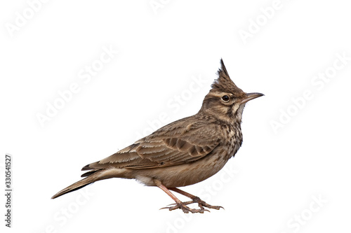 Valokuva Crested Lark isolated on white background, Galerida cristata