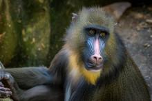 Male Mandrill Baboon Close Up