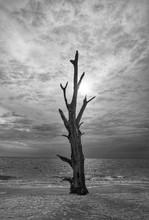 Dead Tree On Beach With Sun Behind