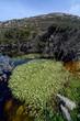 Wasserhahnenfuß (Ranunculus aquatilis) in einem Teich auf Tinos, Griechenland - water-crowfoot on Tinos, Greece