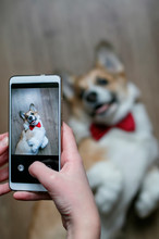 Girl's Hand Takes A Photo On The Smartphone Of A Cute Corgi Puppy Lying On The Floor And Looking Up With A Smile