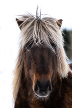 Close Up Portrait Of The Head Of A Beautiful Icelandic Horse