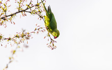 Rose-ringed Parakeet (Psittacula Krameri), Also Known As The Ring-necked Parakeet Wild Green Parrot Perching On A Cherry Blossom Branches Holding Cherry Blossom Flower In His Red Beak In Amsterdam