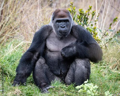 Western Lowland Gorilla, Gorilla gorilla Canvas Print