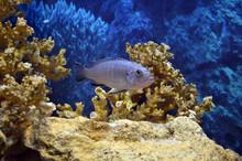Maylandia Zebra. Freshwater Aquarium Fish.