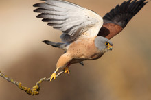 Male Of Lesser Kestrel With Th...