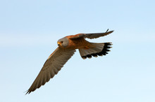 Male Of Lesser Kestrel Flying,...