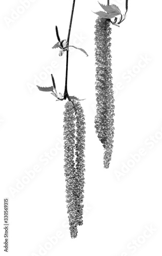 Fotografie, Tablou Spring twigs of birch with young leaves and catkins