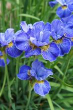 Siberian Iris Riverdance Blue Flowers In Garden Vertical