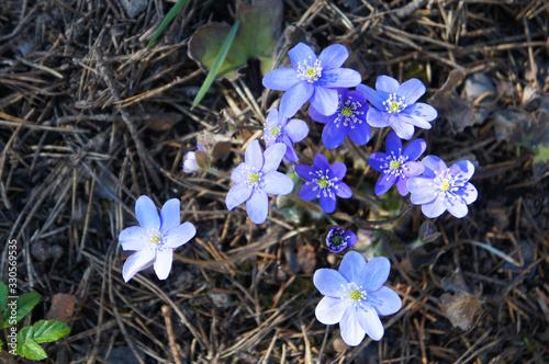 Hepatica nobilis or liverleaf or  liverwort violet flowers on ground