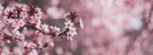 Pink Spring Blossoming Branch Wide Background